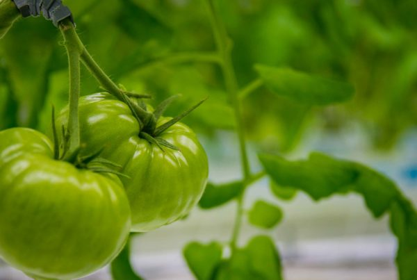 Rosada pomidorów