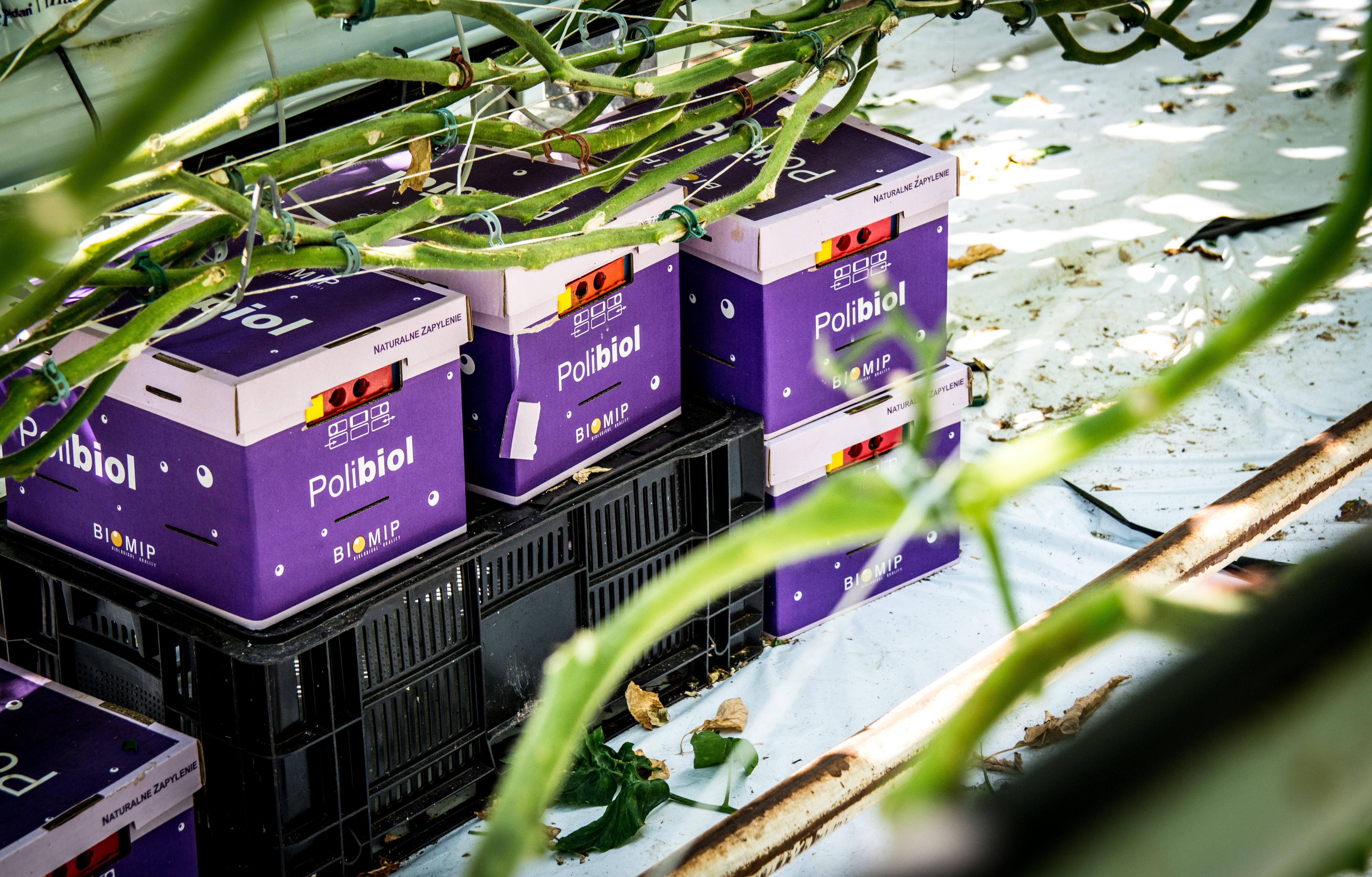 Zapylanie Pomidorów – Trzmiele w uprawach szklarniowych