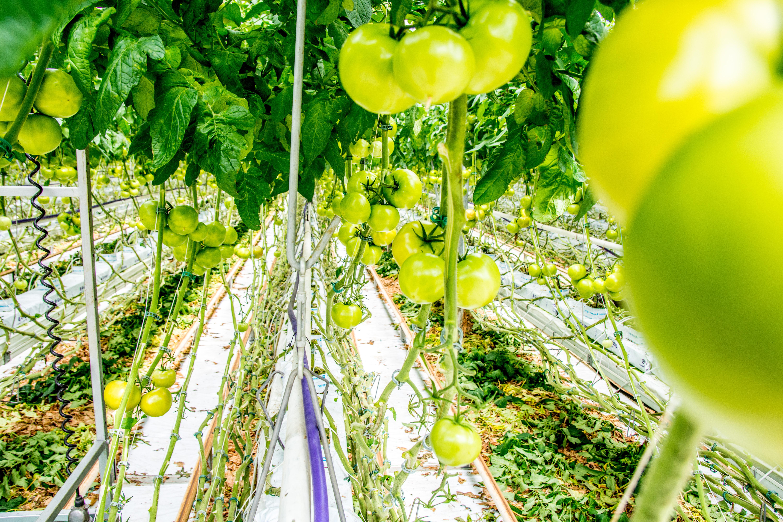 Wirus brunatnej wyboistości pomidora